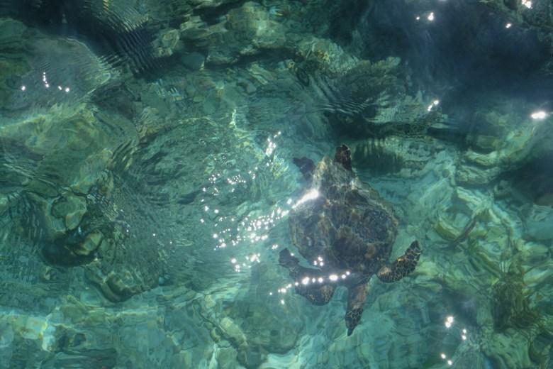 Green sea turtle, Thulusdhoo, Maldives
