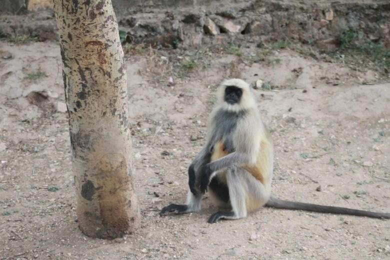 Grey langur, Ranthambore National Park, India