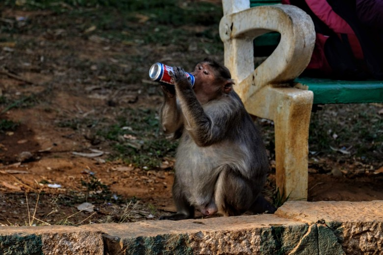 Obese macaque at Lal Bagh Botanical Gardens, Bangalore