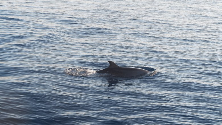 Bottlenose dolphin off the coast of Mallorca