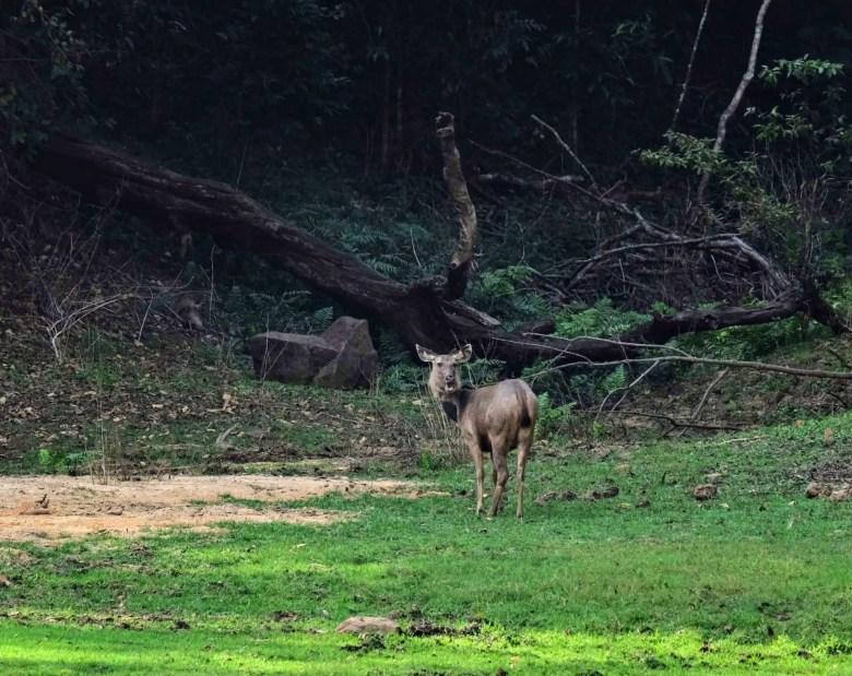 Sambar deer, Periyar National Park, South India