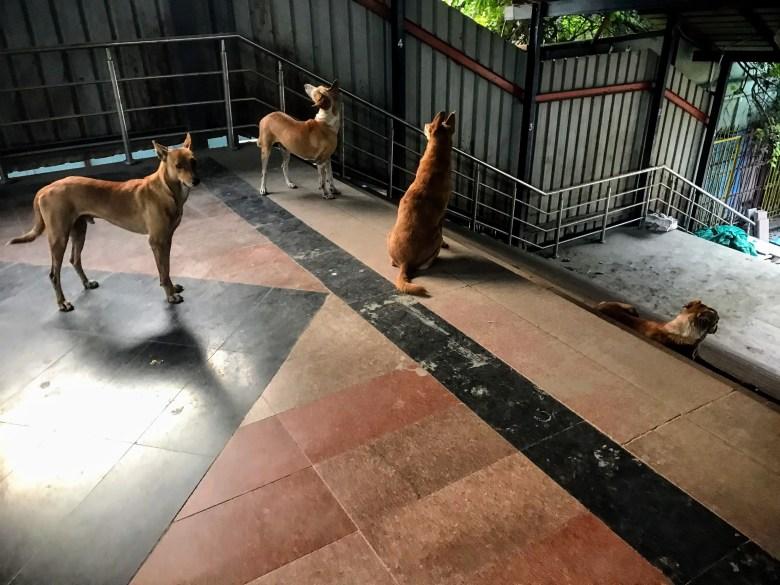 Stray dogs in Delhi Train Station, North India
