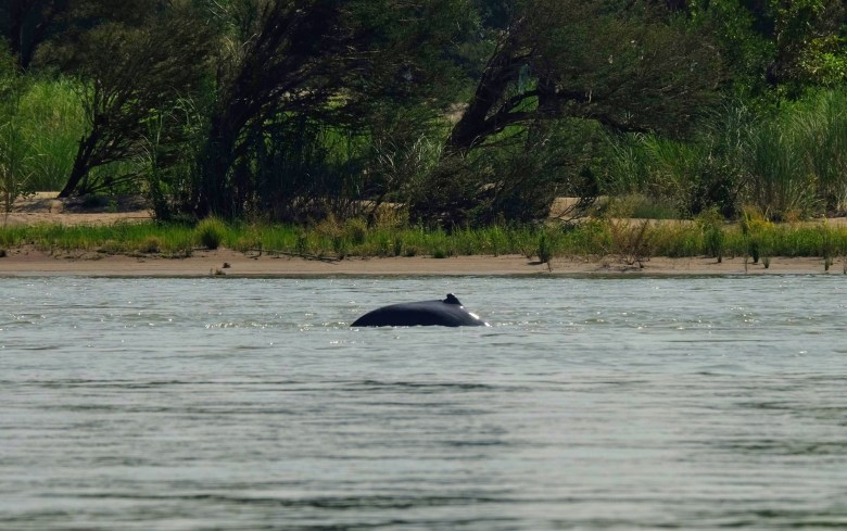 Irrawaddy dolphins, Laos, Southeast Asia