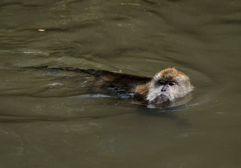 Swimming long-tailed macaque, Langkawi Island, Malaysia