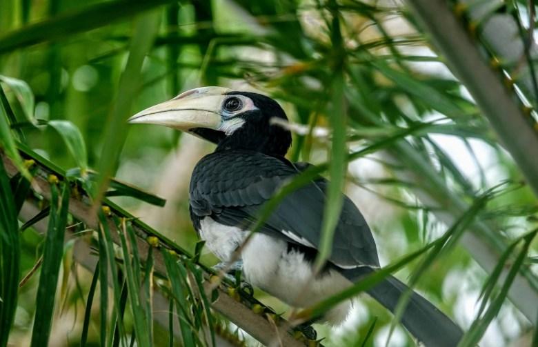 Pied hornbill, Langkawi Island, Malaysia