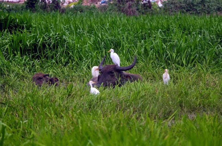 Water buffalo and egrets, Langkawi Island, Malaysia
