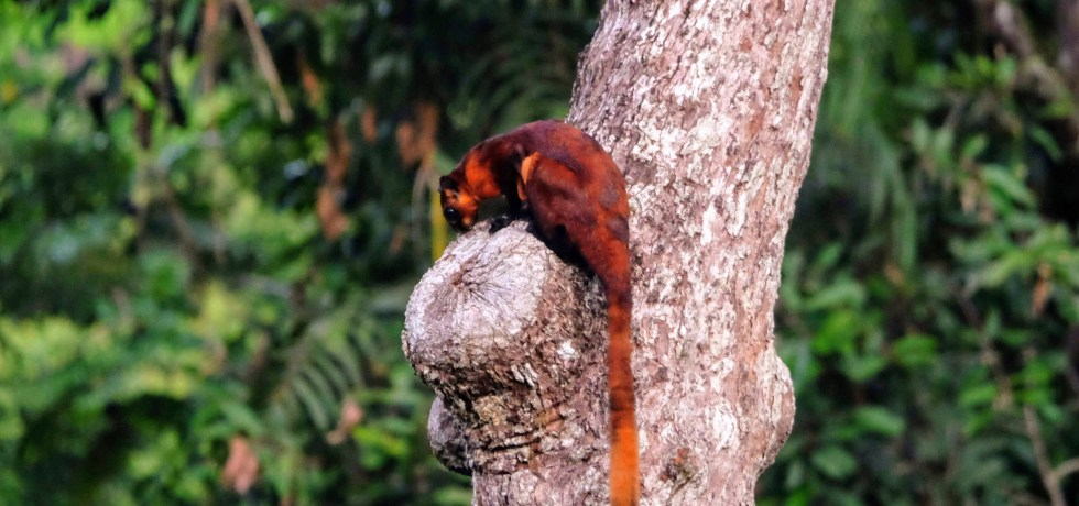 Red giant flying squirrel, Sepilok, Borneo
