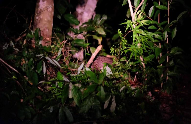 Malayan civet, Kinabatangan River, Borneo