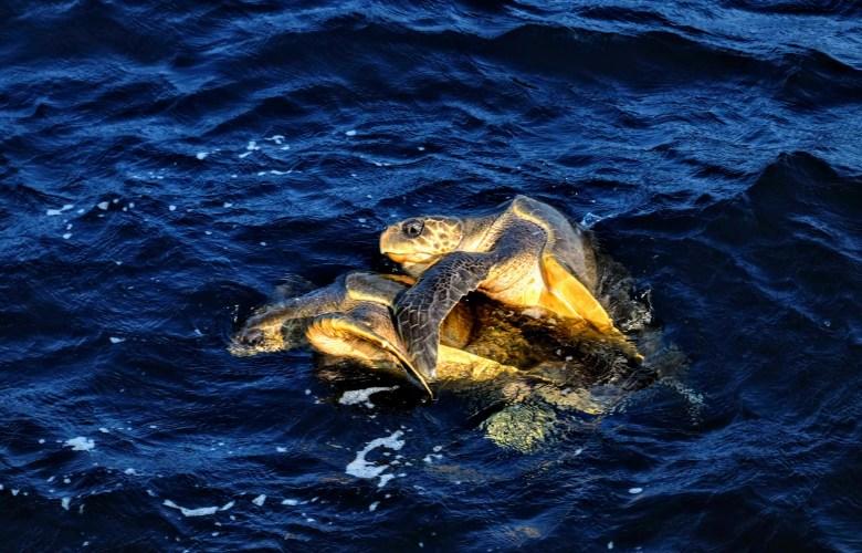 Turtles having sex in Mirissa, Sri Lanka