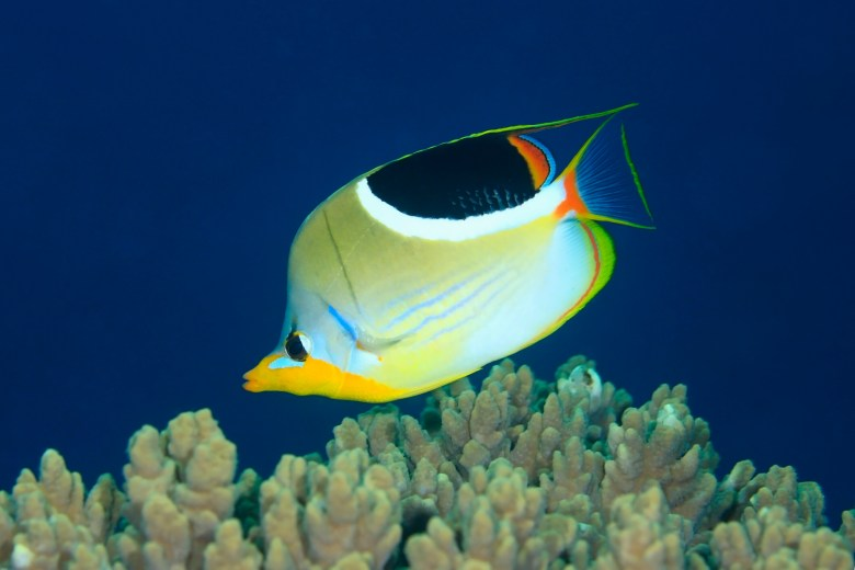 Saddle butterflyfish, iStock