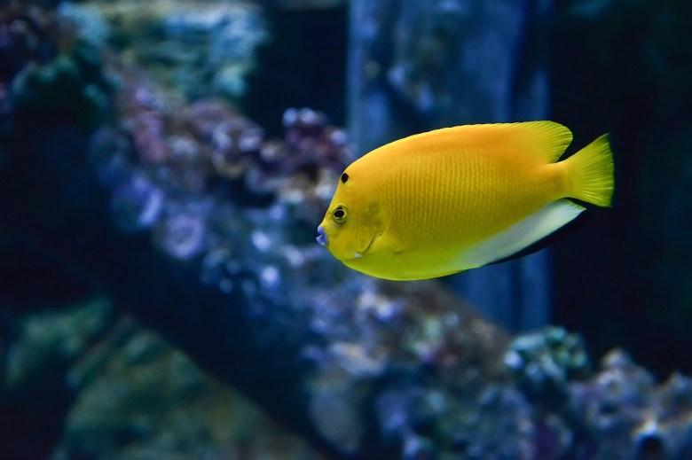 Threespot angelfish, iStock