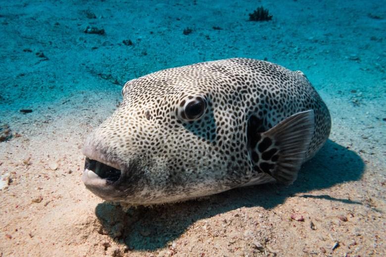 Giant pufferfish, iStock