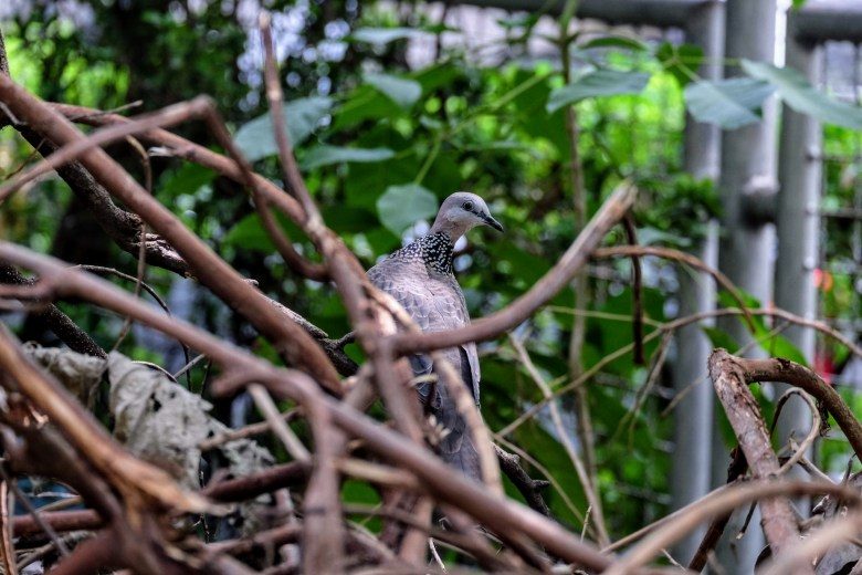 Spotted dove, Queen Saovabha Memorial Institute, Bangkok
