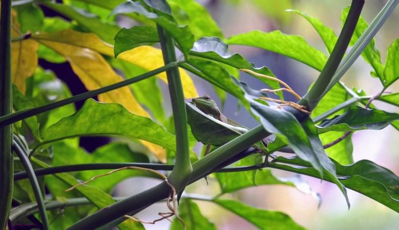 Green tree lizard, Kuala Lumpur, Malaysia
