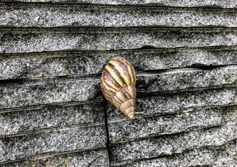 Giant African land snail, Kuala Lumpur, Malaysia