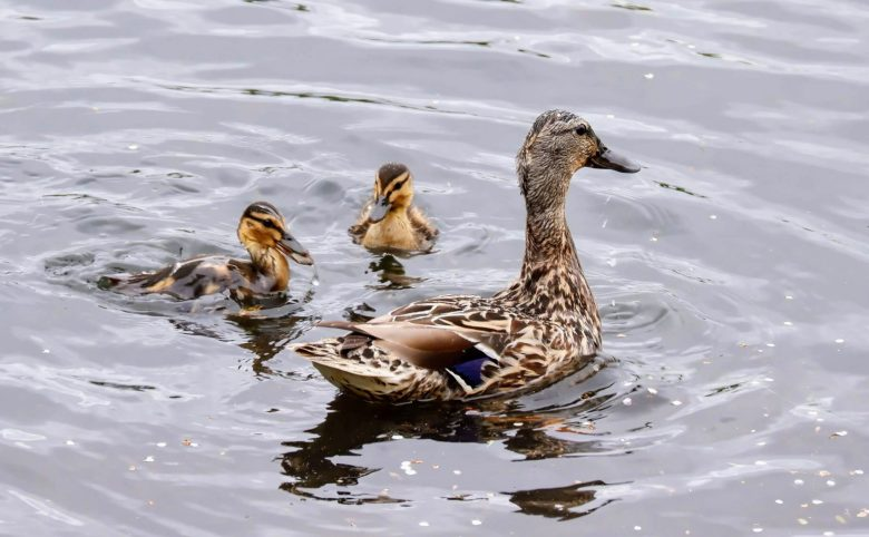 Mallard and ducklings, Sale Water Park, Manchester