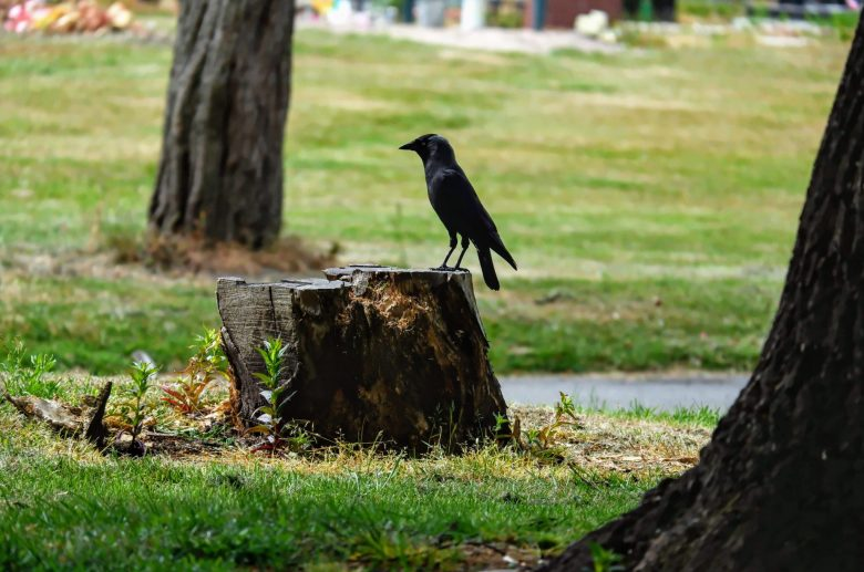 Jackdaw in Southern Cemetery in Manchester