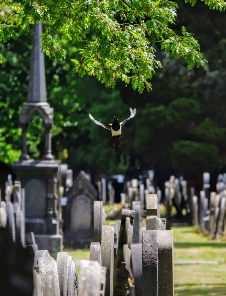 Magpie in Southern Cemetery in Manchester