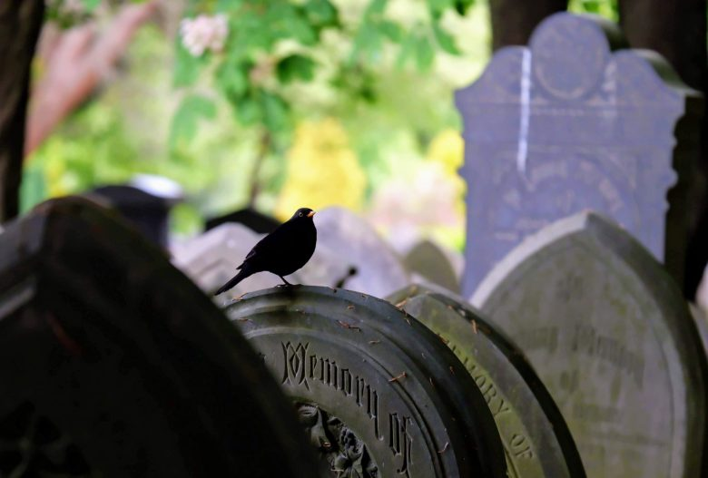 Blackbird in Southern Cemetery in Manchester