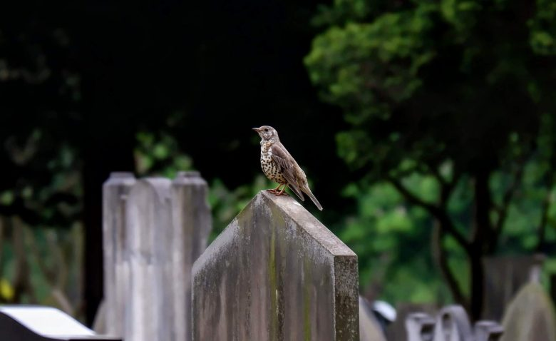 Song thrush in Southern Cemetery in Manchester
