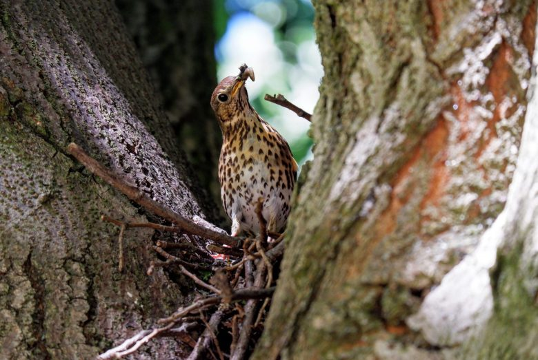 Song thrush in nest, Southern Cemetery