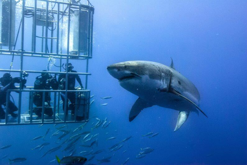A picture showing cage divers being confronted bya sshark in Guadalupe In Mexico