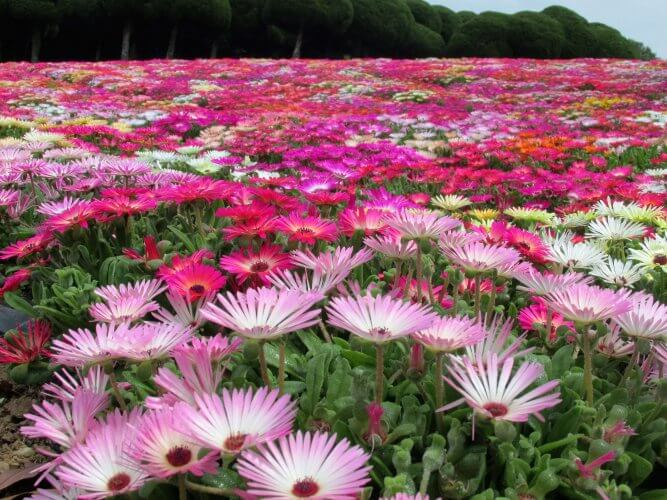 An image of the flowers in Nokonoshima Island