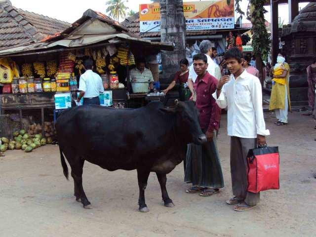 wohlgenährte Kühe