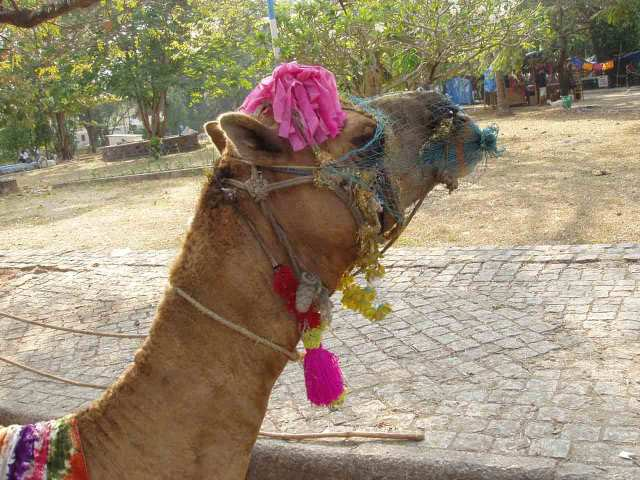 Camel with embellishments