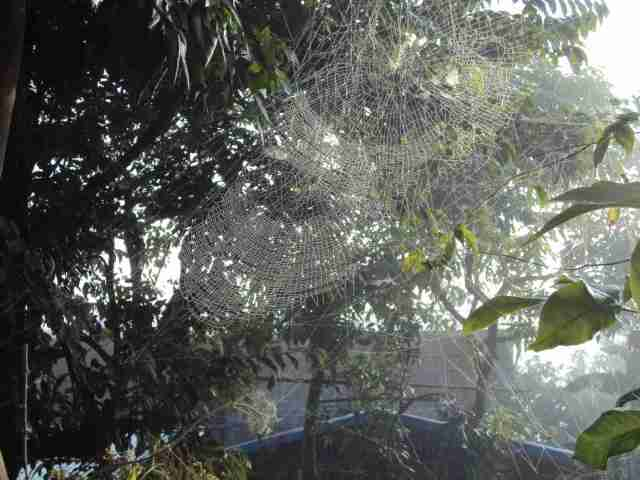 Spider webs in the trees