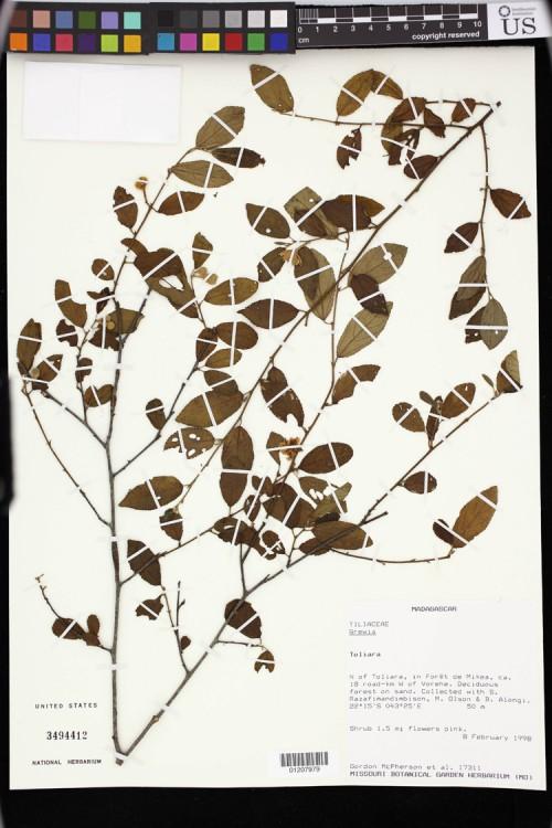 Specimens of the Tiliaceae Family. United States National Herbarium (US).