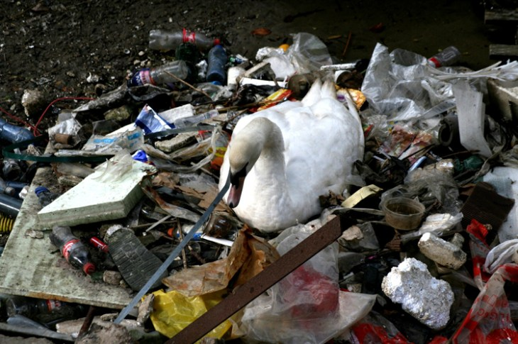 Swan sits atop nest of trash.