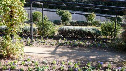 Pansies, just planted