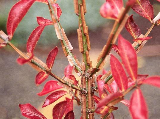 Image result for euonymus alatus