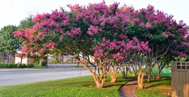 How to Prune Crape Myrtle, How to Prune Crape Myrtle, Landscape Pros | Landscape Design & Landscaping Services Manassas, VA