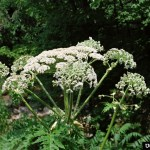 Invasive Plants: Giant Hogweed