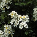 Invasive Plants: Multiflora Rose