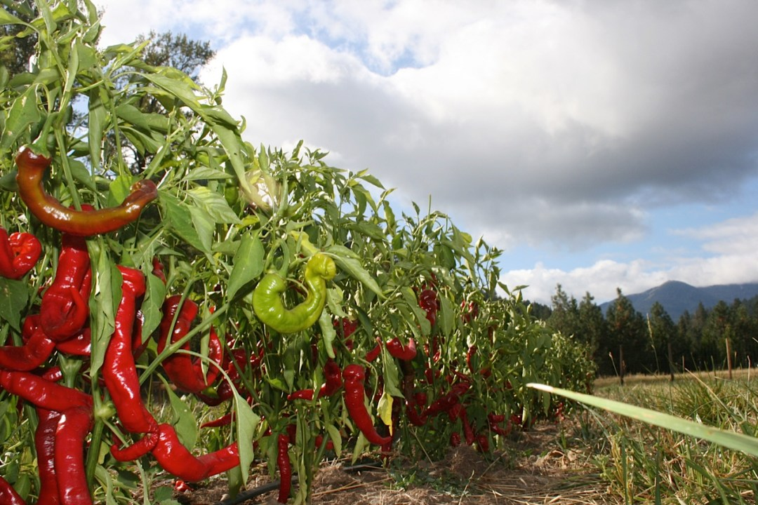 Restoration Agriculture: Peppers in healthy soil
