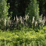 Edible and Medicinal Plants: Black Cohosh