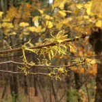 Native plant WitchHazebl