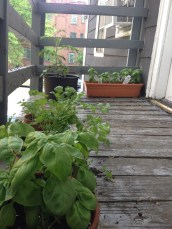 basil parsley tomatoes on the fire escape