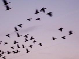 geese taking flight 2005