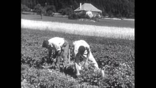 der-kartoffelkaefer-der-gefuerchtete-feind-unserer-kartoffelkulturen-ch-1936