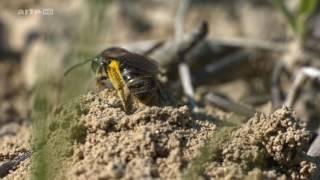 Biene Majas wilde Schwestern – Wildbienen
