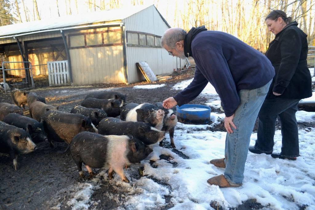 Aldergrove pig sanctuary little oinks