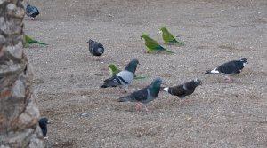 попугаи с голубями
