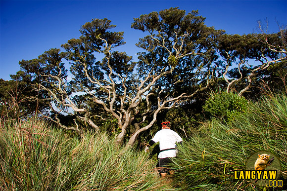 A climber going down a path beside a stunted tree at the peak of Mt. Tapulao in Zambales