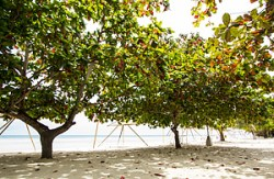 Mantalisay trees
