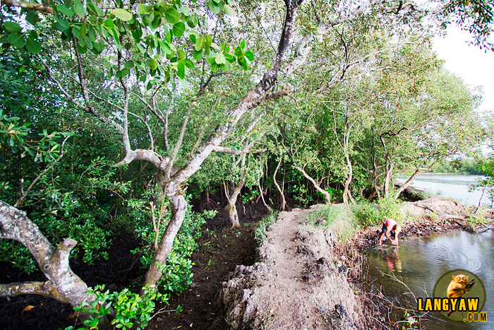 The earthen path passing through mangroves and fishponds