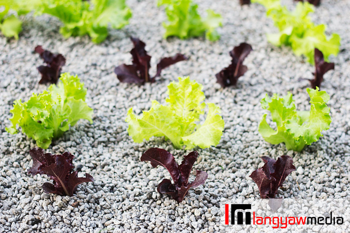 Lettuce as grown in aquaponics plots